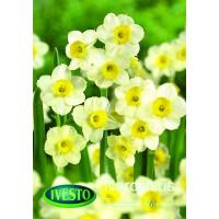 3109 Нарцис tazetta Minnow 5 бр.